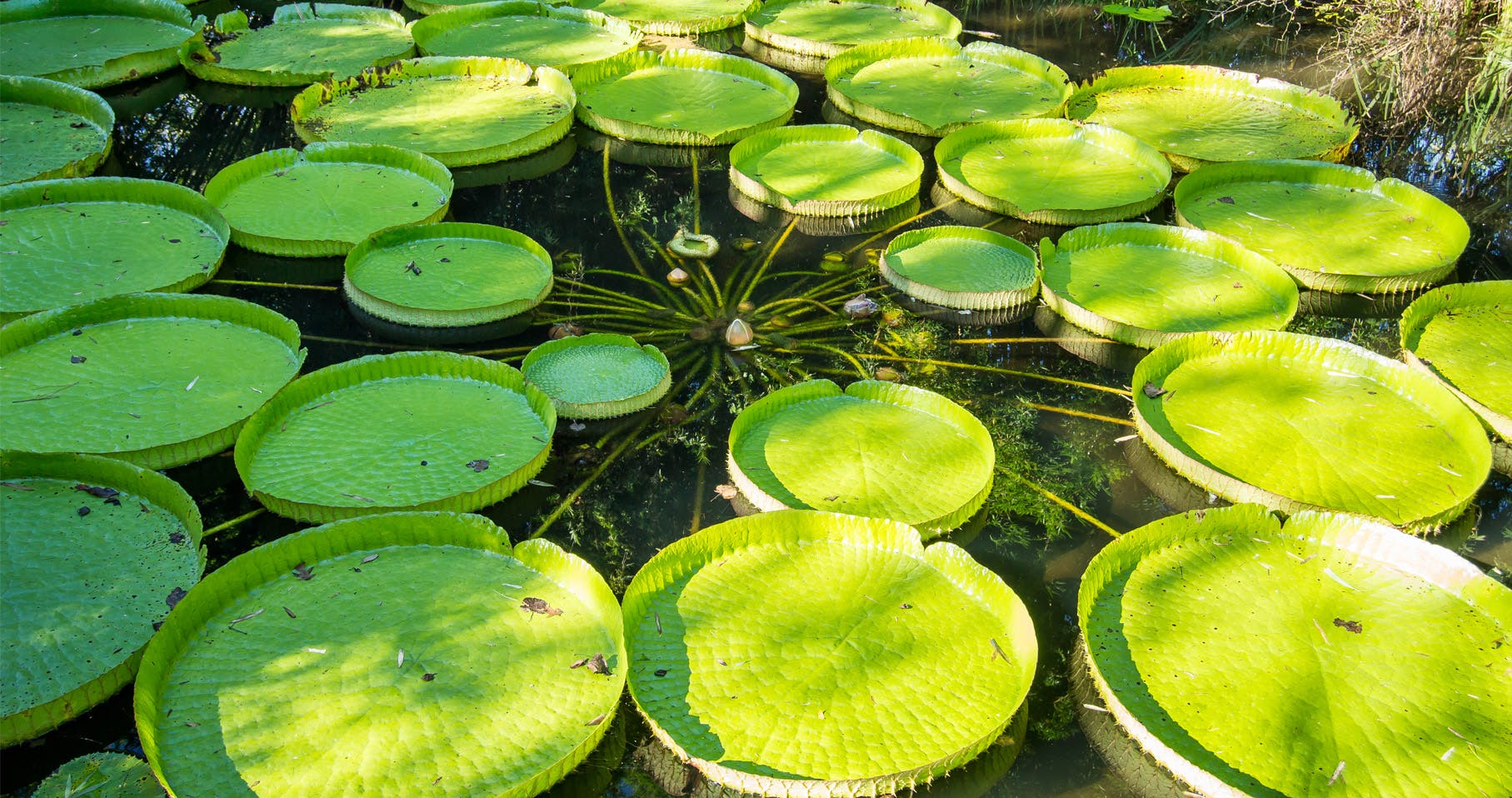 victoria lily pads in a garden