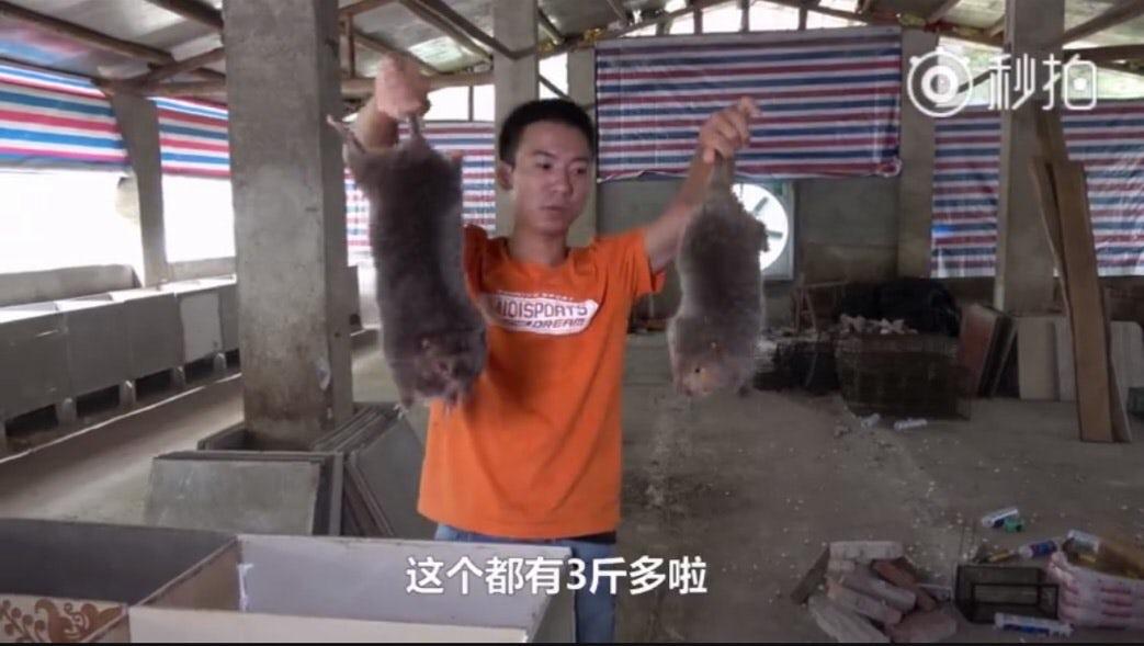 bamboo rats