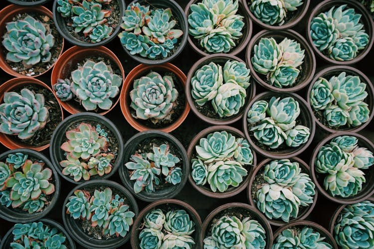 aerial view of succulents growing in pots